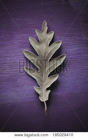 Oak tree leaf on purple wooden background. Texture and background of oak leaves for designers. Macro view of leaf texture on wood background. Organic texture of green leaves.