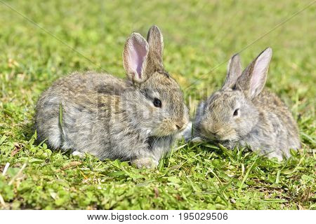 Beautiful young small rabbit on the green grass in summer day. Gray bunny rabbit on grass background. Rabbit eats grass