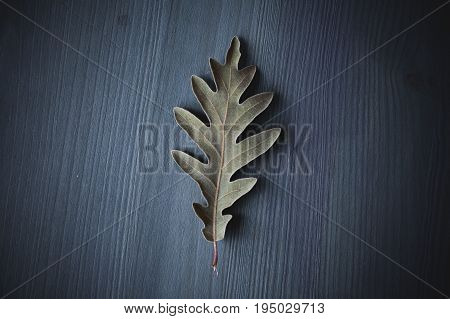 Oak tree leaf on gray wooden background. Texture and background of oak leaves for designers. Macro view of leaf texture on wood background. Organic texture of green leaves.