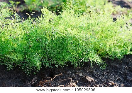 Dill Growing In The Ground. Green Fennel Sprouts In The Garden. Dill Herb Growing In The Garden For