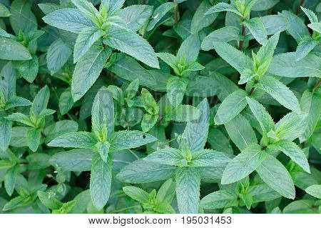 Mint Plant Grow At Vegetable Garden. Selecyive Focus. Top View. Mint Plant Grow At Vegetable Garden