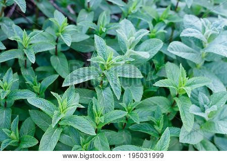 Green Mint Plant Grow Background. Mint Plant Grow At Vegetable Garden. Selecyive Focus. Top View