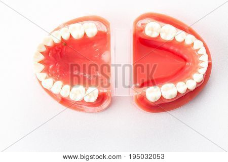 Model of the human jaw for dentistry