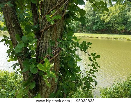 tree with a vine wrapped around it and a small lake