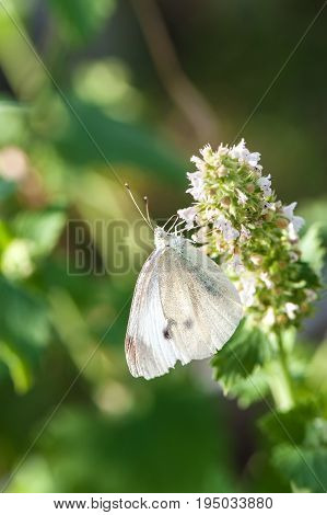 Small white butterfly on green leaf. Close up.