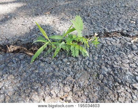 green weed growing through crack in the black asphalt