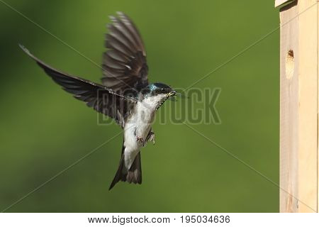 Tree Swallow (tachycineta bicolor) bringing a dragonfly to the nest