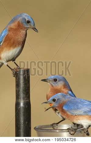 Eastern Bluebird (Sialia sialis) on a feeder