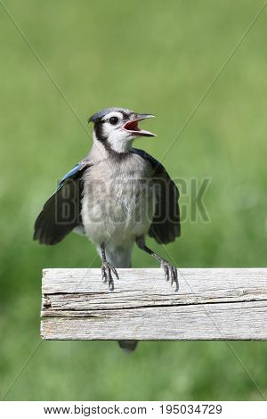 Juvenile Blue Jay (corvid cyanocitta) with a colorful background