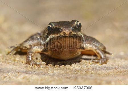 Baby Wood Frog (Rana sylvatica) in a pond poster