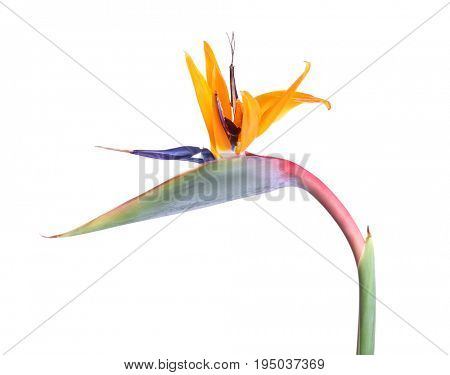 Fiery tropical strelitzia, isolated on white