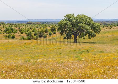 Cork Trees In A Yellow Flores Field In Vale Seco, Santiago Do Cacem