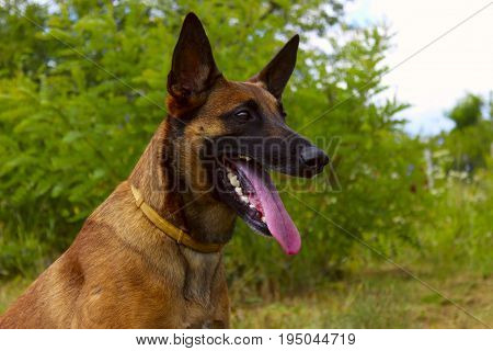 Close-up of a Belgian Shepherd Dog in the park.