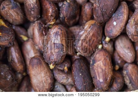 raw Cocoa seed, nature Cocoa seed sprouting on background.