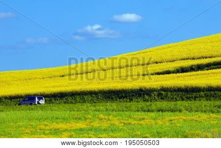 Car driving on a road in Sweden besides a yellow rapefield