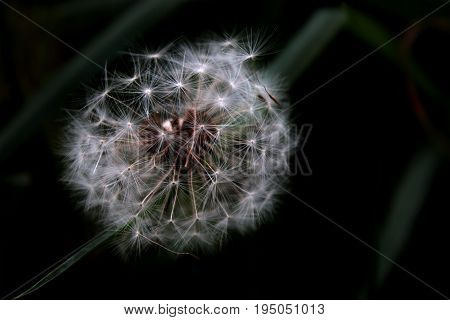 Single macro dandelion shot in Valley Forge Park, Valley Forge Pennsylvania. Color.