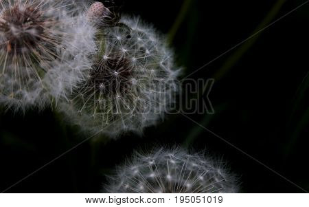 Multiple macro dandelions shot in Valley Forge Park, Valley Forge Pennsylvania. Color.