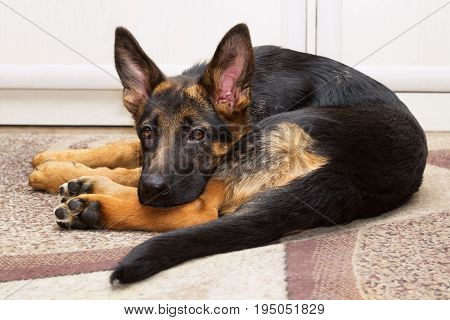 Funny young puppy of a shepherd dog lying on a carpet twisted into a ball