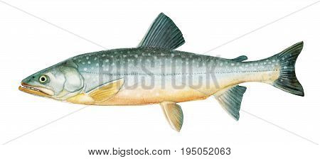 Freshwater Fish Of The Far East -  Malma, Char