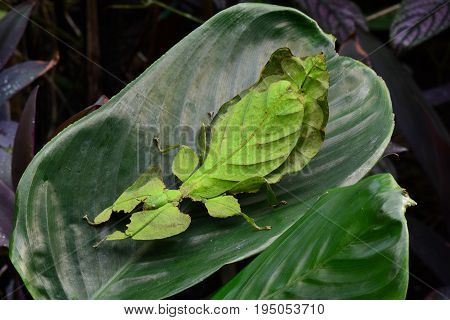 A giant leaf insect sits on a plant leaf in the gardens looking for action.