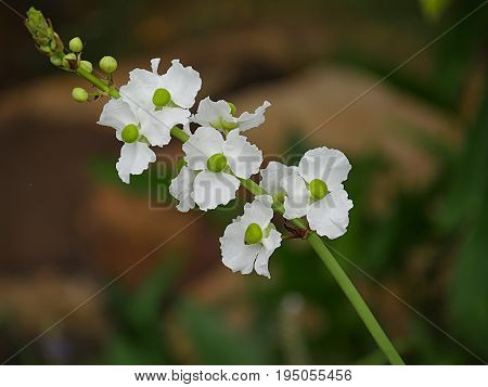 Arrowhead flowers in a stem A stem loaded with white arrowhead flowers with green centers