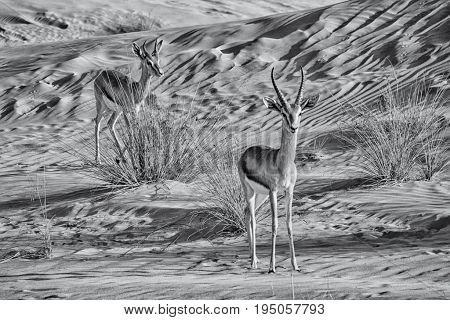 Gazelles photographed in The Dubai Desert Conservation Reserve