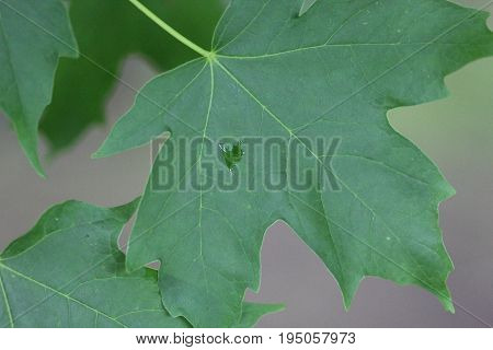 A sugar maple leaf with a water droplet on it
