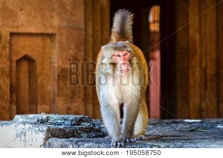 A rhesus macaque captured in the North of India
