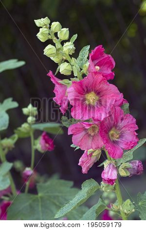 Red mallow also known as hollyhock in the garden