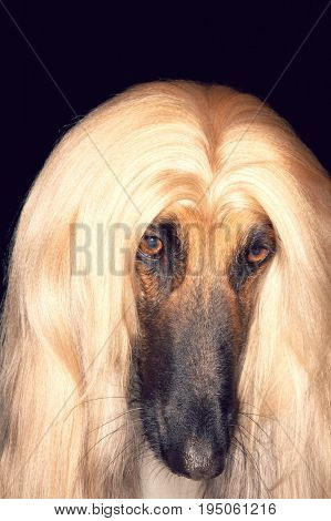 Closeup of Afghan hound against black background