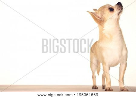 Chihuahua standing and looking up against white background