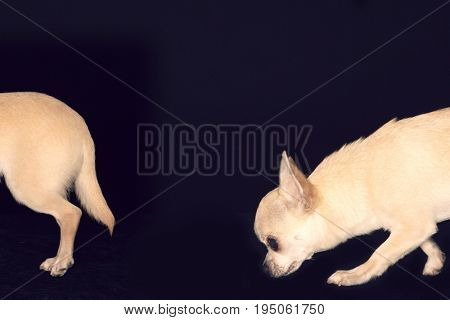 Chihuahua Following Another Chihuahua