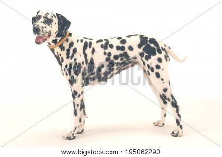 Side view of Dalmatian standing against gray background