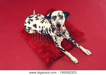 Firehouse dog relaxing on cushion over red background