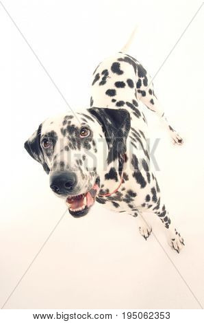 Dalmatian standing and looking up against gray background