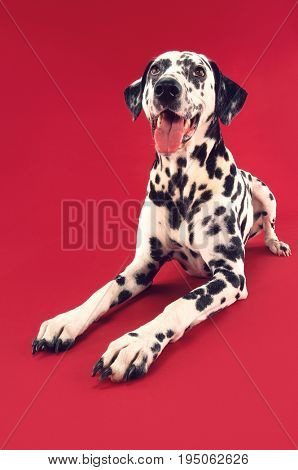 Dalmatian crouching with mouth open against red background