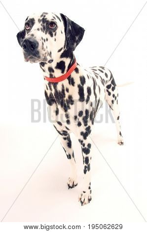 Dalmatian standing and looking up against white background