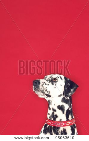 Closeup of a Dalmatian looking up against red background