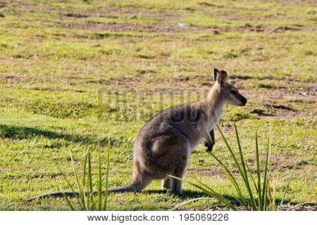 Australian Wallaby Standing In Grassy Field