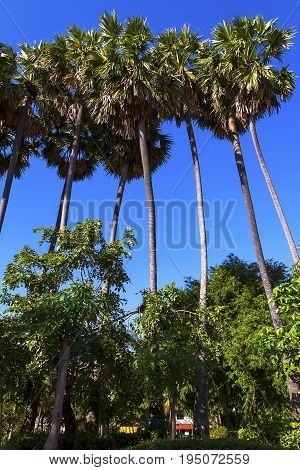 Sugar palm with blue sky at village countryside in Thailand