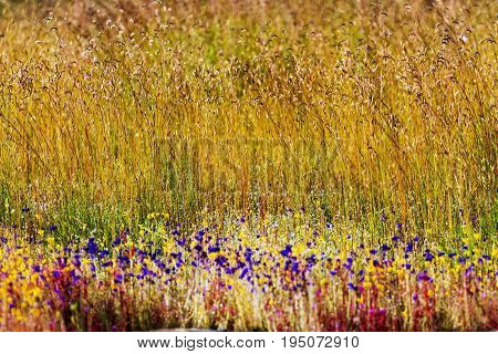 Utricularia delphinoides Thor.ex Pell. flower beautiful with blur golden field at Mukdahan Nation Park Thailand