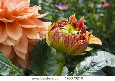 Newly Blooming Christie Leader Dahlia In Garden Setting
