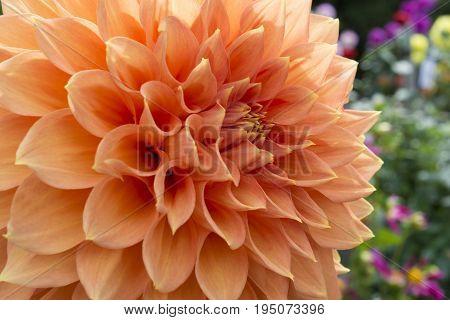 Peach Coloured Christie Leader Dahlia In The Garden