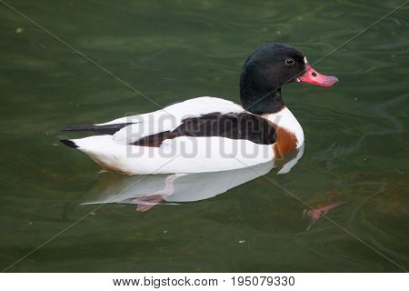 Common shelduck (Tadorna tadorna). Wild life animal.