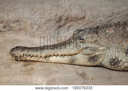 Slender-snouted crocodile (Mecistops cataphractus). Wildlife animal.  poster