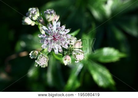 Astrantia inflorescence. The top view. One of buds is opened. Green leaves with an indistinct contour are against a dark background visible.