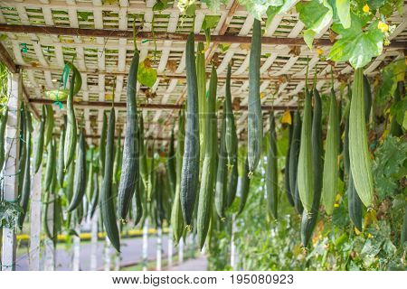 Many smooth loofah or long luffas , food