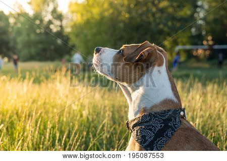 Dog in bandana sits on grass in park. Mixed breed staffordshire terrier puppy outdoors on beautiful sunny day with people in background