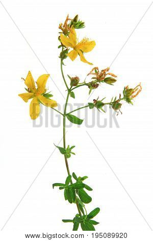 Real St. John's wort (Hypericum perforatum) - flowering plant isolated against white background