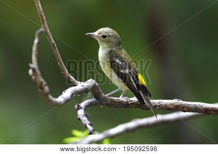 Yellow-rumped Flycatcher Ficedula Zanthopygia Female Cute Birds Of Thailand